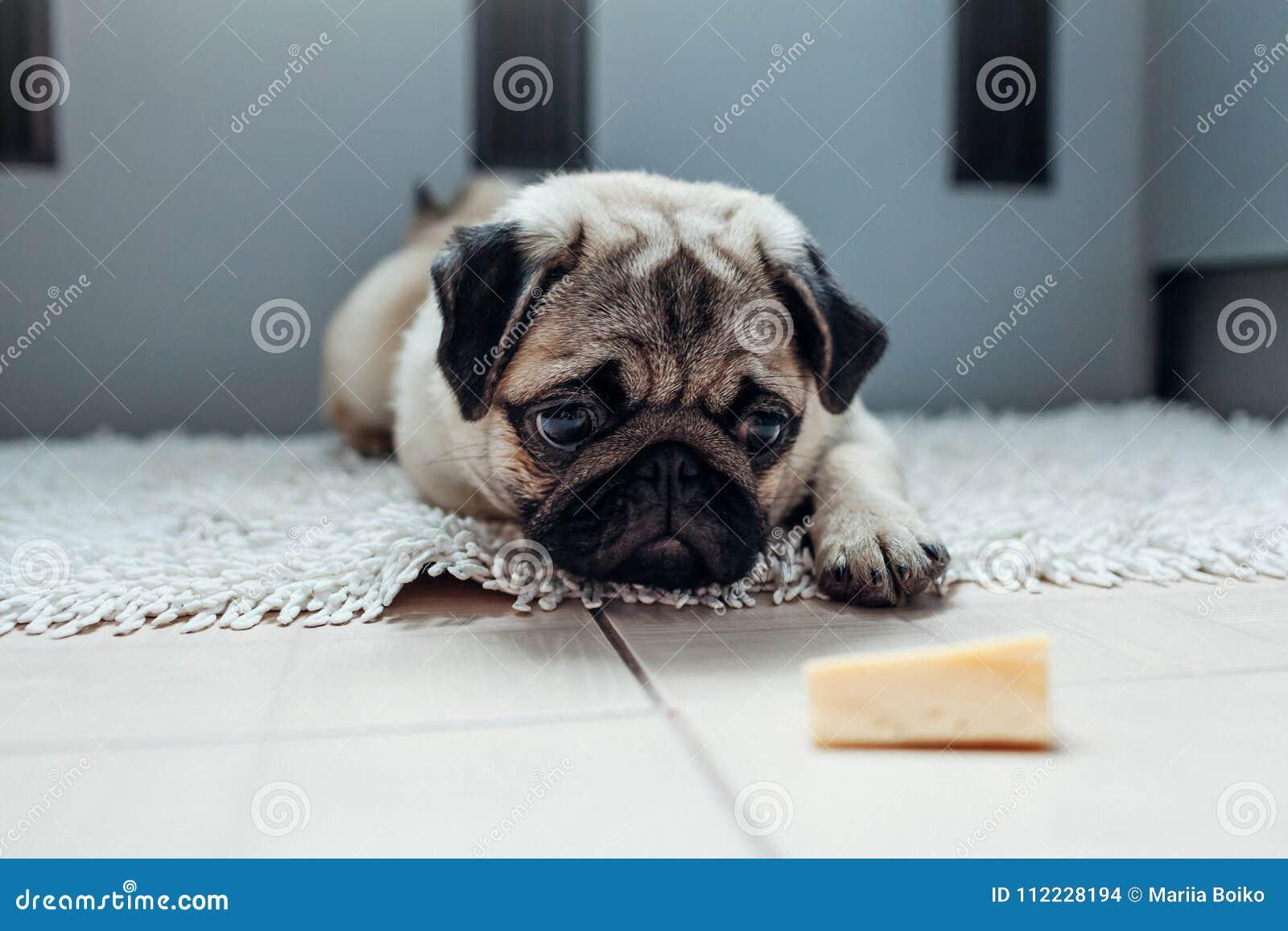 Cão do Pug que espera uma permissão comer o queijo na cozinha