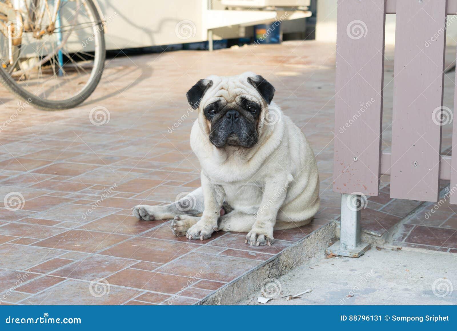 Cão do Pug que senta-se no assoalho