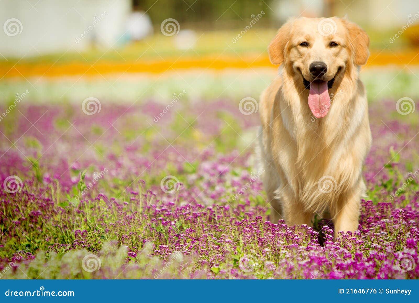 Cão do retriever dourado