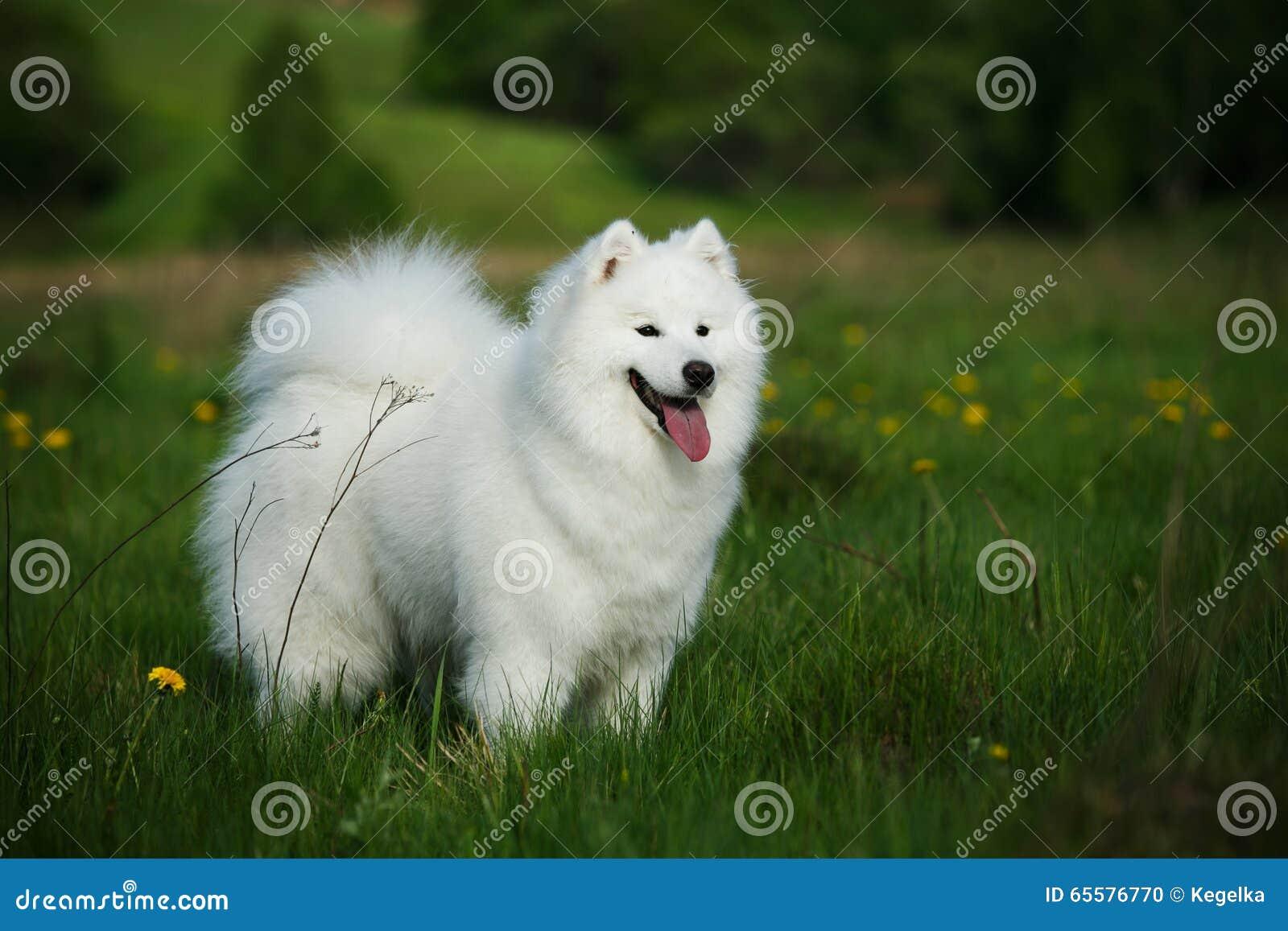 Cão do Samoyed em uma caminhada no parque