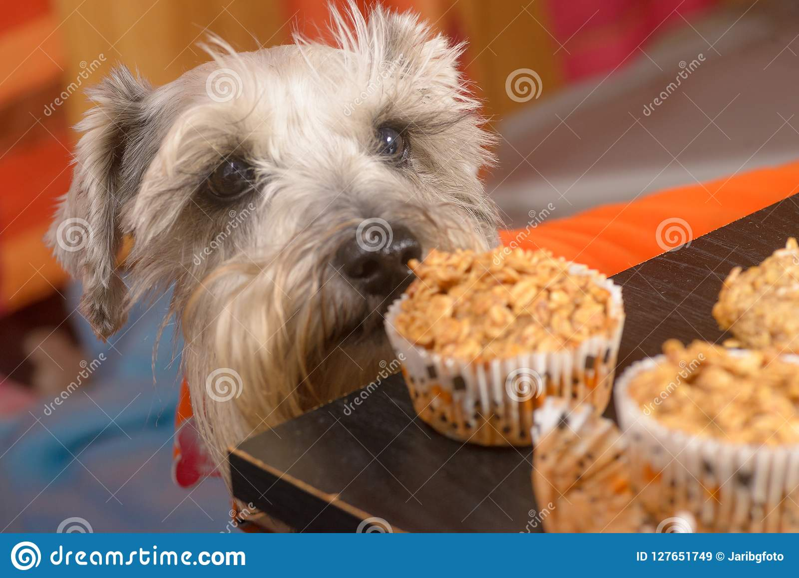 Cão do Schnauzer que implora um queque