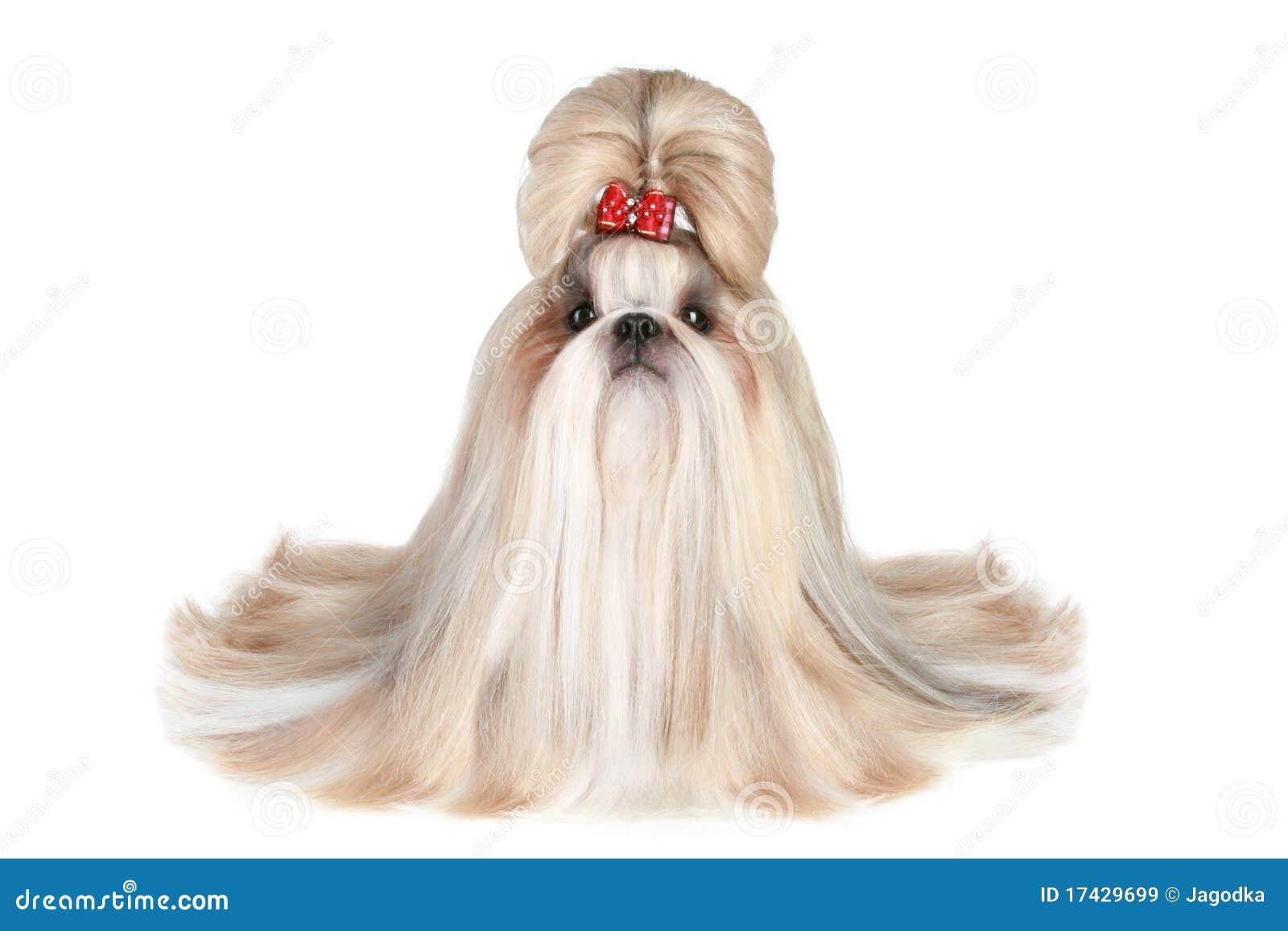 Imagens de Stock Royalty Free: Cão do shih-tzu da raça