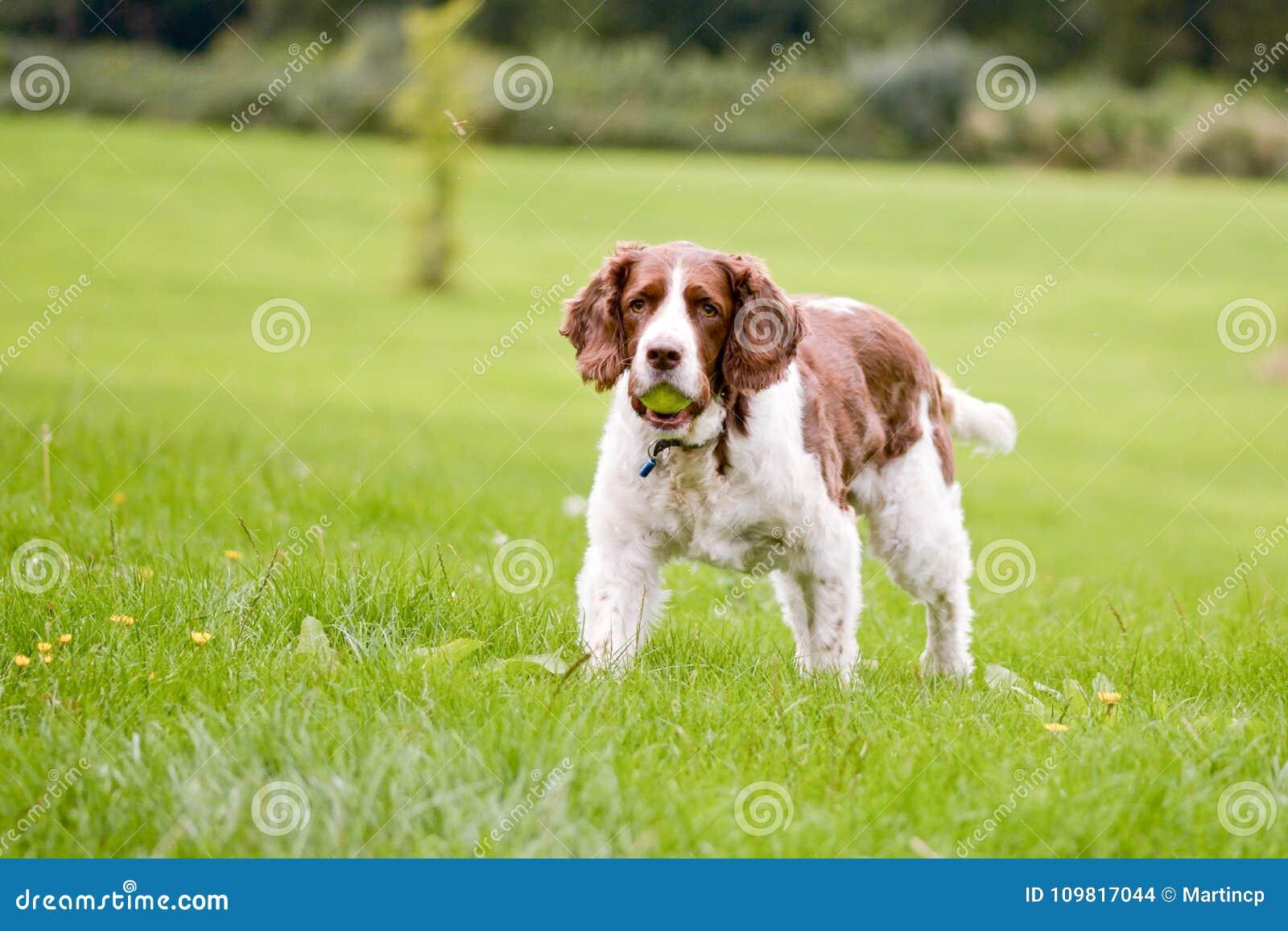 Cão do spaniel de Springer inglês no parque