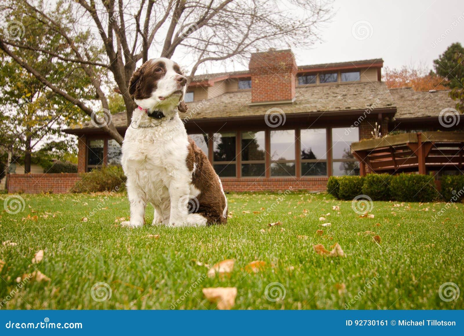 Cão do spaniel de Springer inglês no quintal