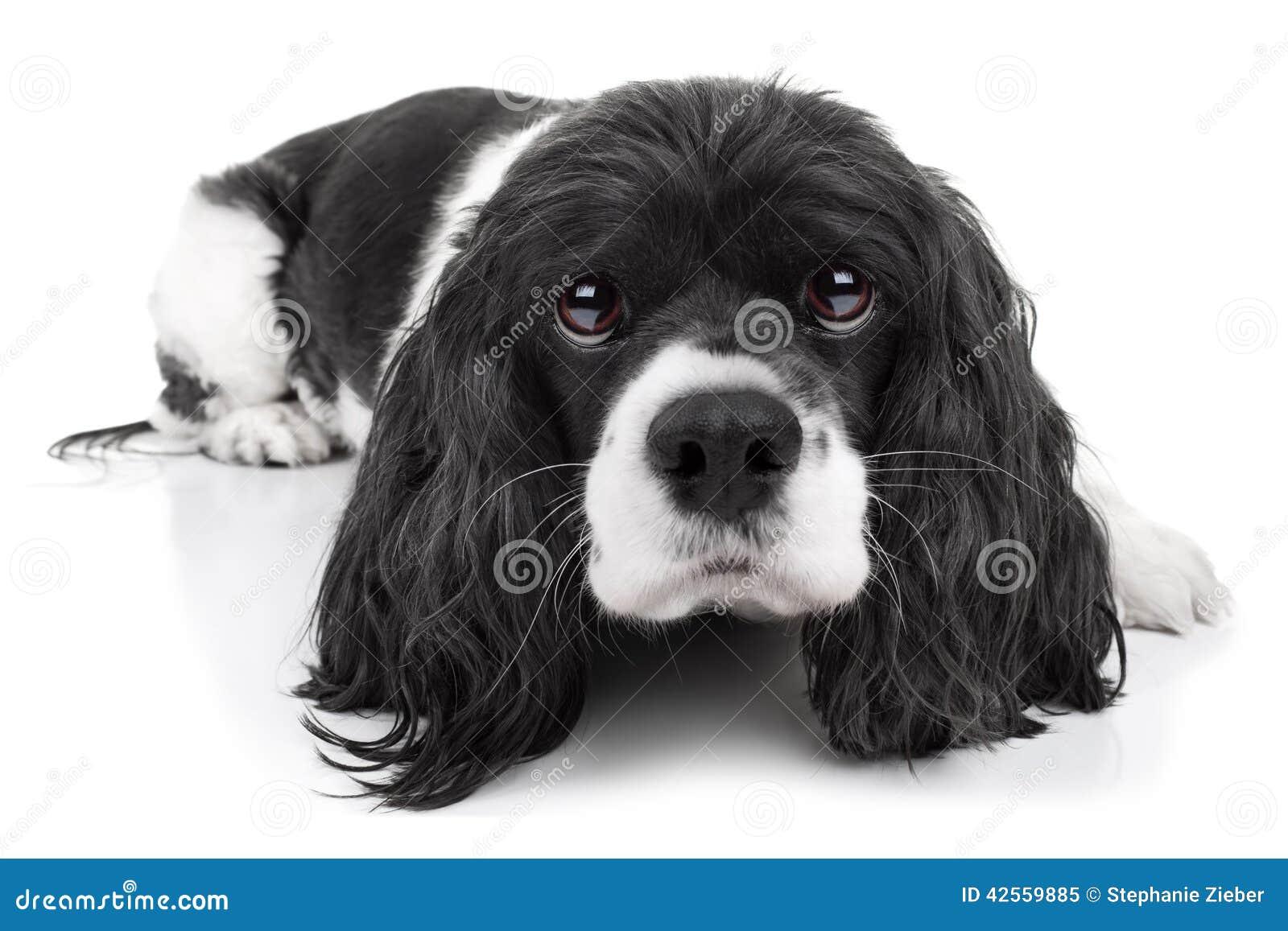 Cão do spaniel isolado