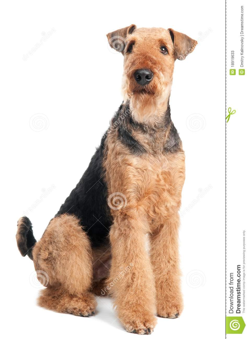 Cão do terrier do Airedale isolado