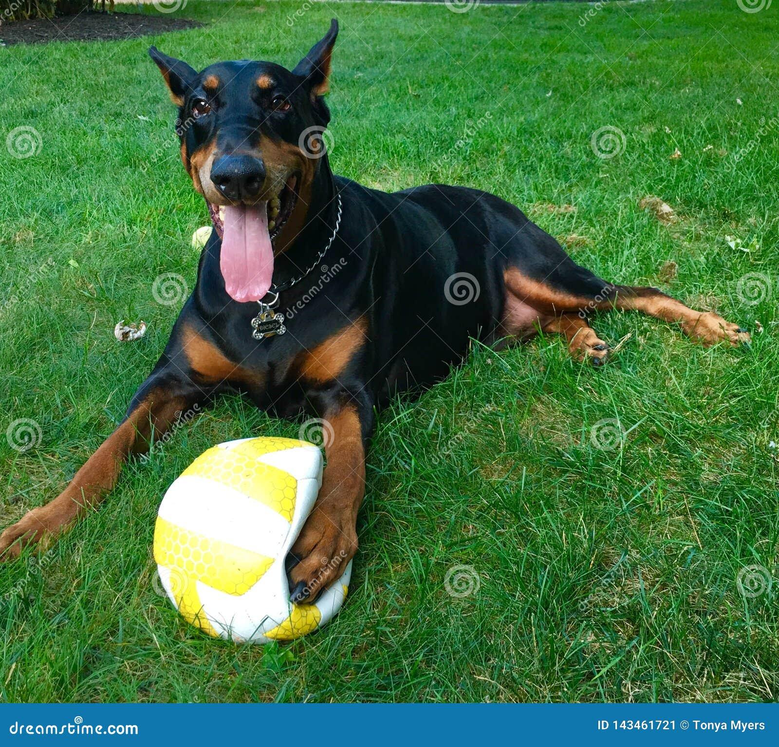 Cão do voleibol