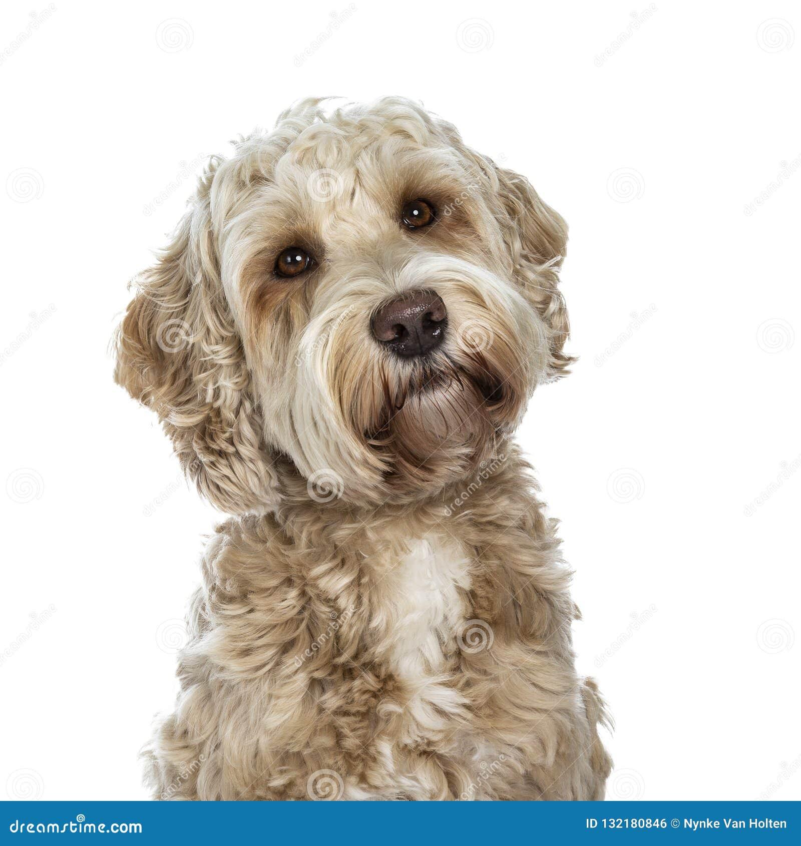 Cão dourado adulto fêmea doce de Labradoodle, isolado em um fundo branco