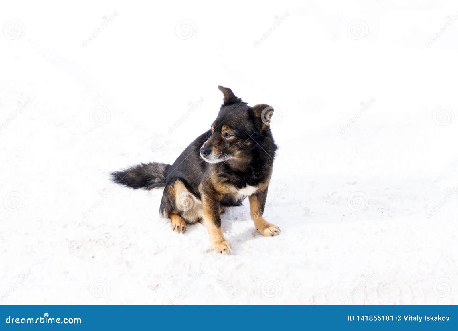 Cão engraçado da chihuahua que levanta em uma praia nos óculos de sol