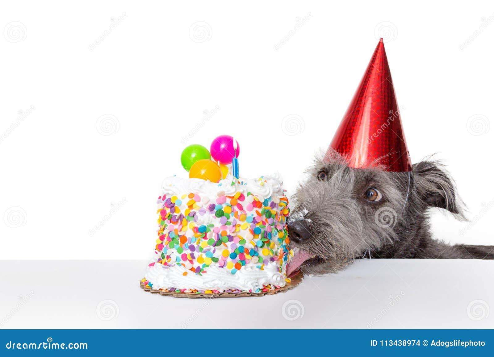 Cão engraçado do aniversário que come o bolo