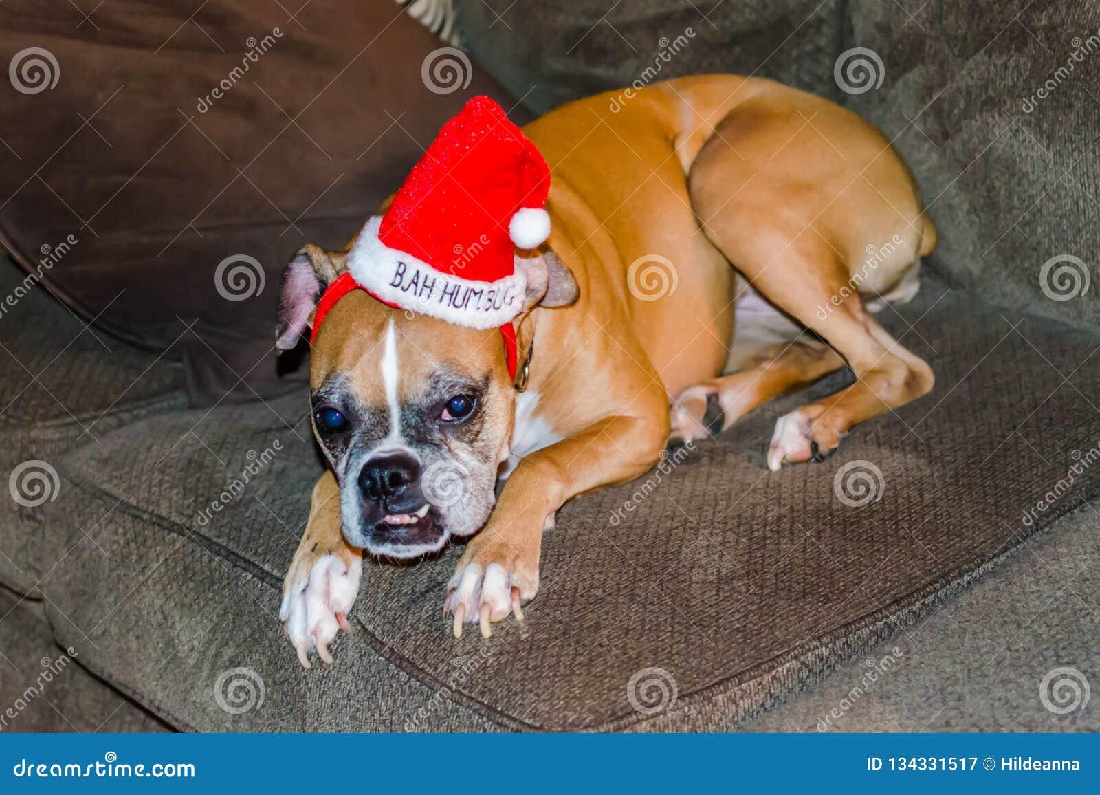 Cão engraçado do Natal que veste o chapéu vermelho da farsa de Bah