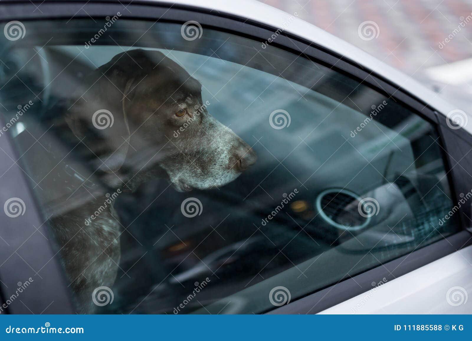 Cão esquerdo apenas no carro fechado Animal abandonado no espaço fechado Perigo do superaquecimento ou da hipotermia do animal de