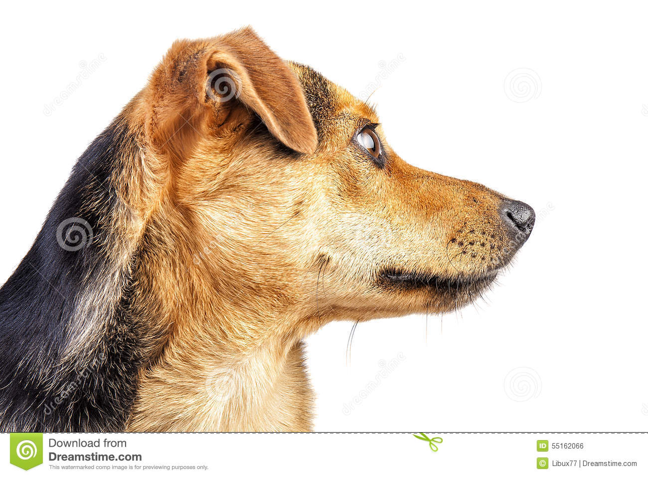 Cão Fawn Portrait Profile Face Isolated pequena