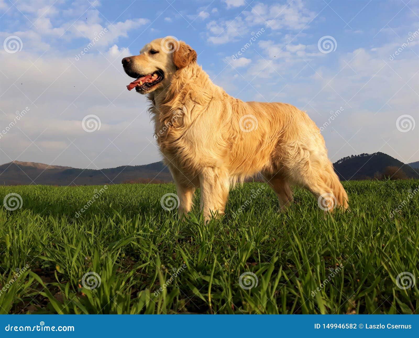 Cão feliz do golden retriever no campo verde