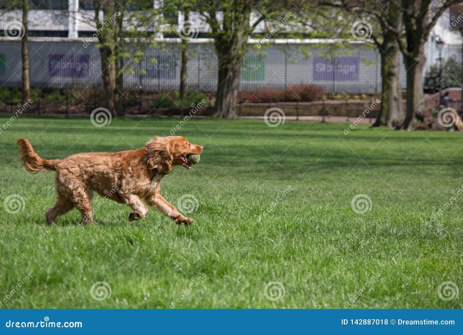 Cão feliz que corre com uma bola de tênis