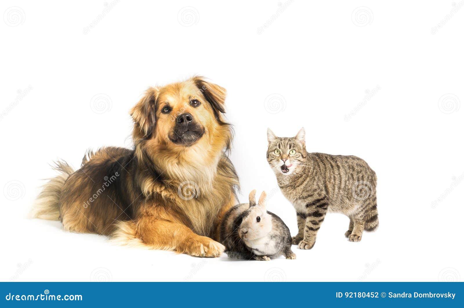 Cão, gato e coelho no estúdio, fundo branco