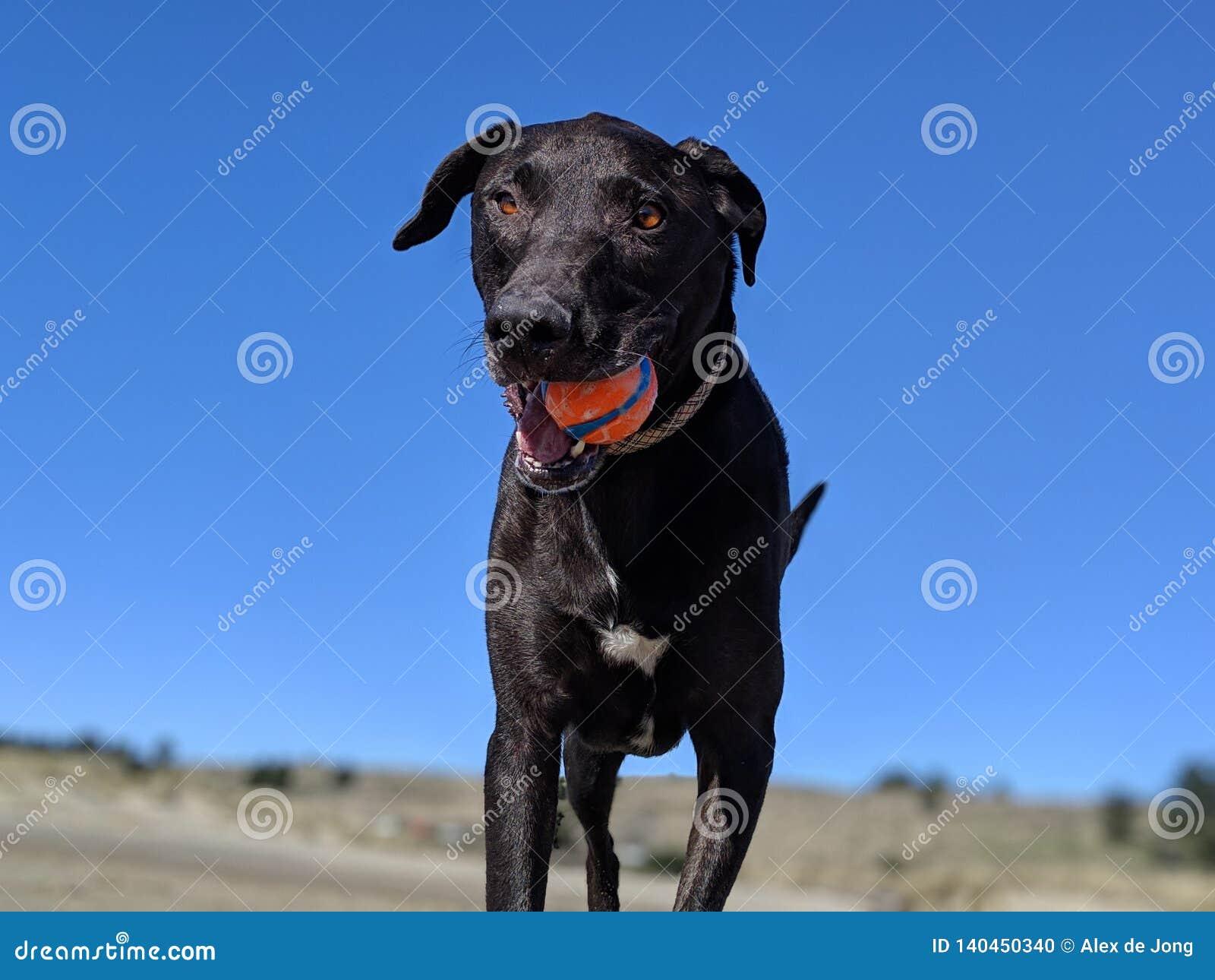 Cão grande feliz bonito com uma bola na boca que olha a câmera com os olhos marrons com céu e a areia borrados no fundo