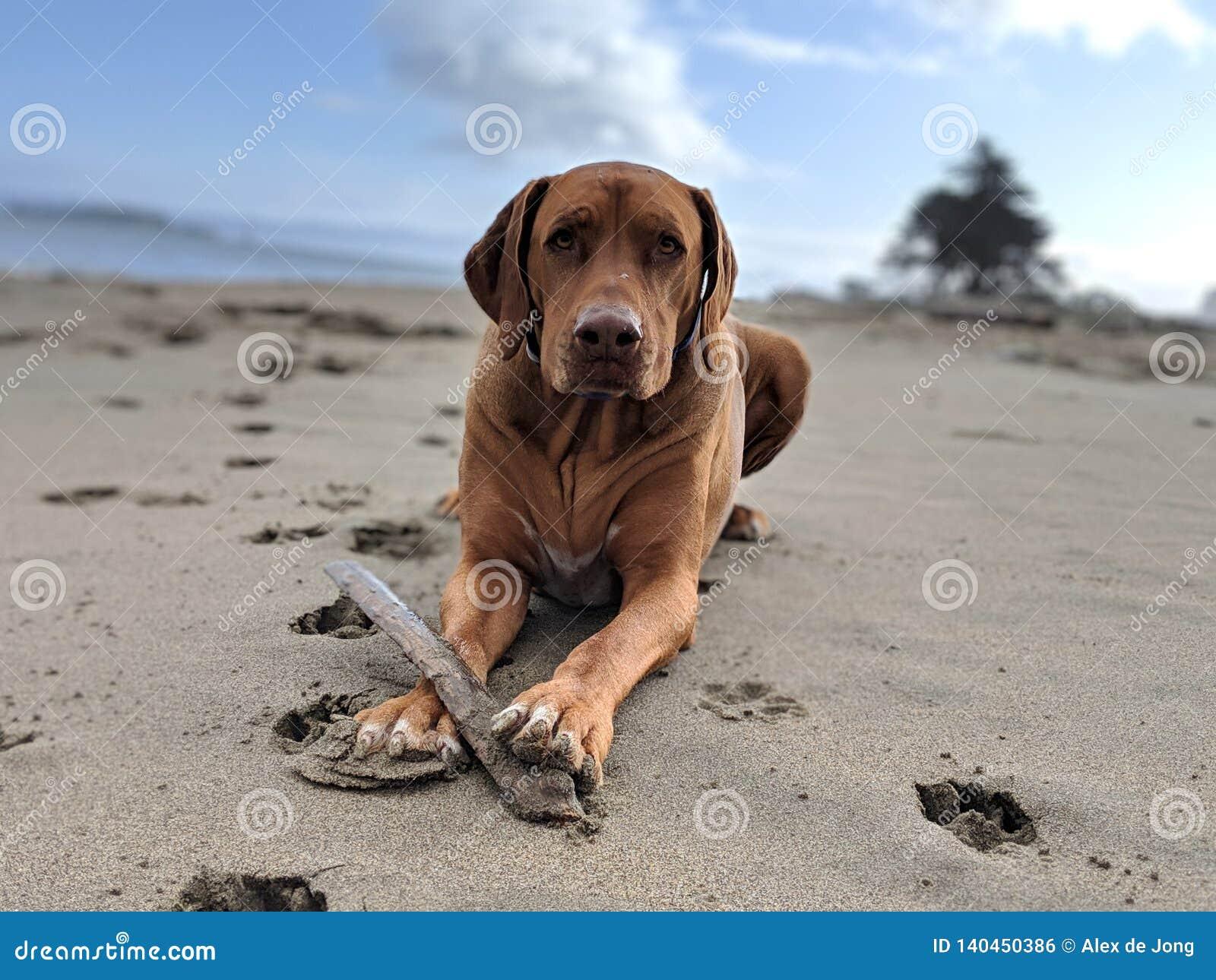 Cão grande feliz bonito com uma vara que joga o esforço na praia que olha a câmera com a testa enrugada na areia com o céu azul b