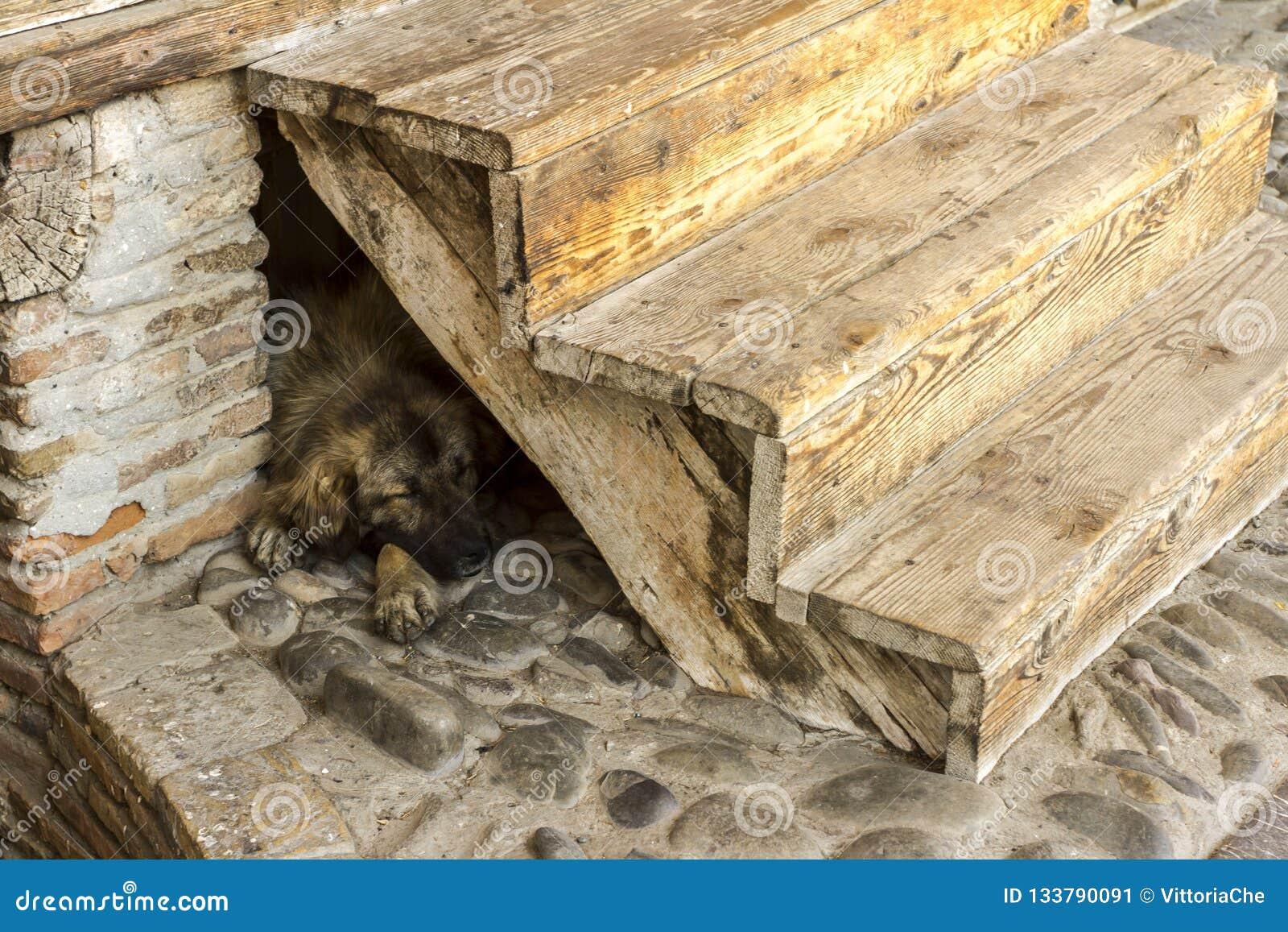 Cão grande marrom desabrigado que dorme no assoalho de pedra sob as escadas de madeira