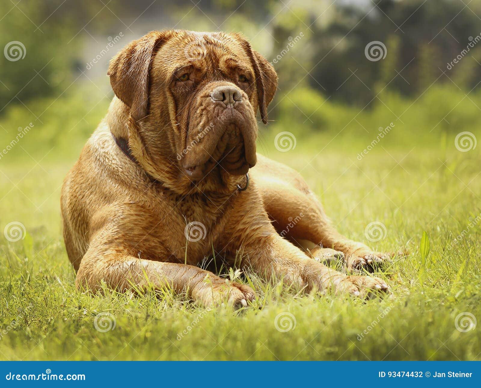Cão grande - mastim do Bordéus