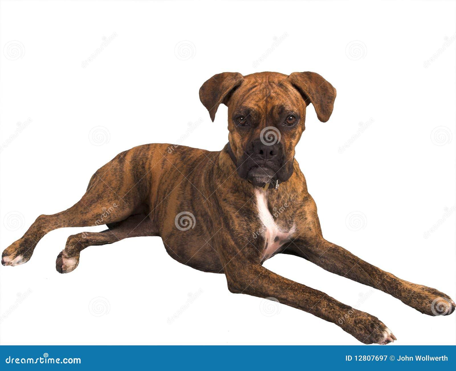 Cão Grouchy com trajeto de grampeamento