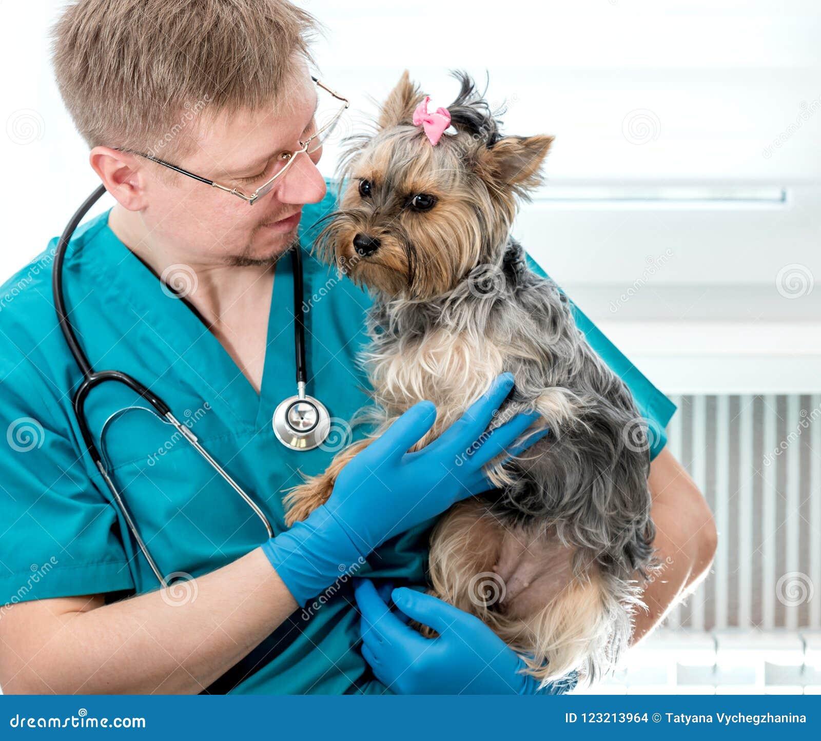 Cão guardando veterinário nas mãos na clínica do veterinário
