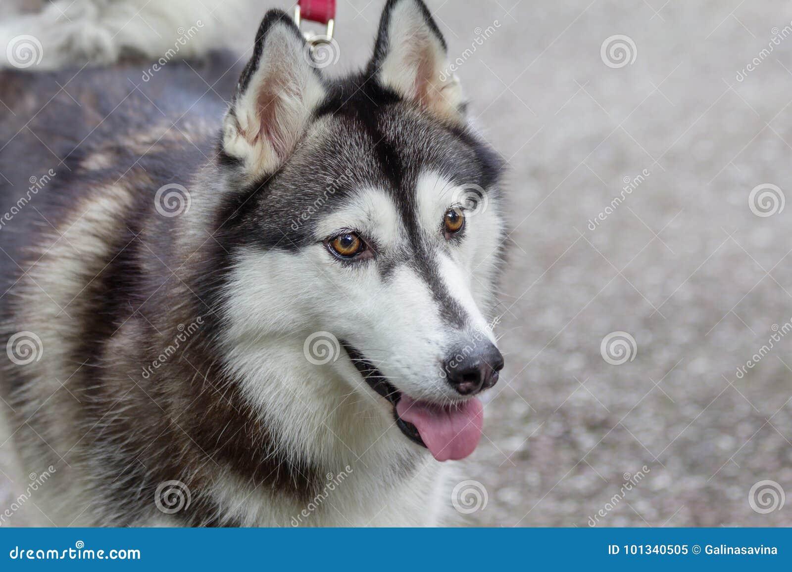 Cão Husky Alaskan Malamute