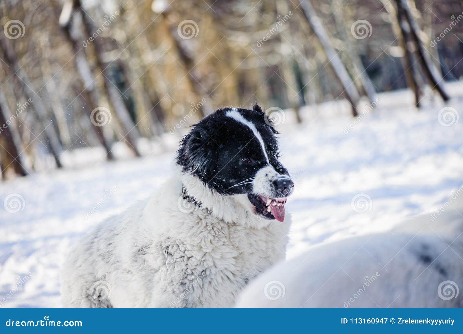 Cão irritado com dentes descobertos