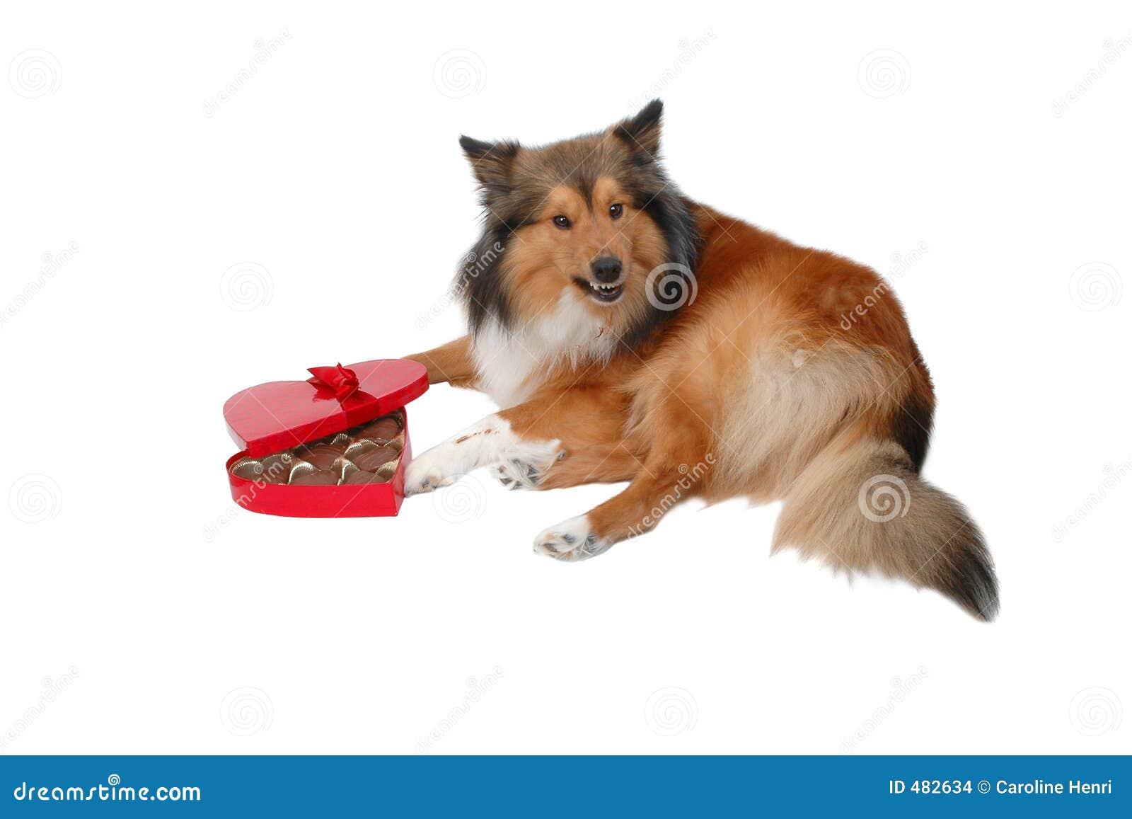 Cão irritado do dia de Valentim