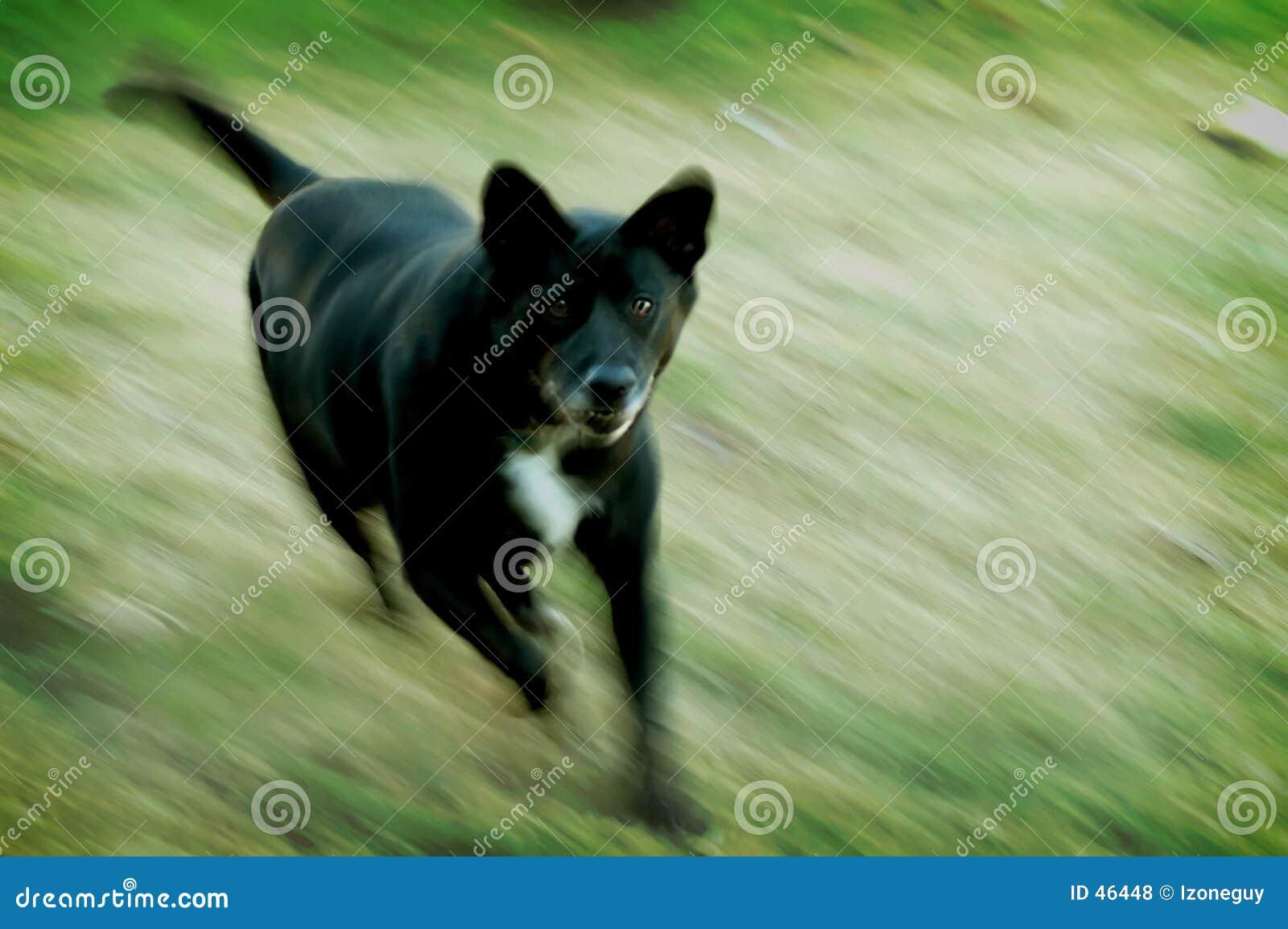 Cão médio