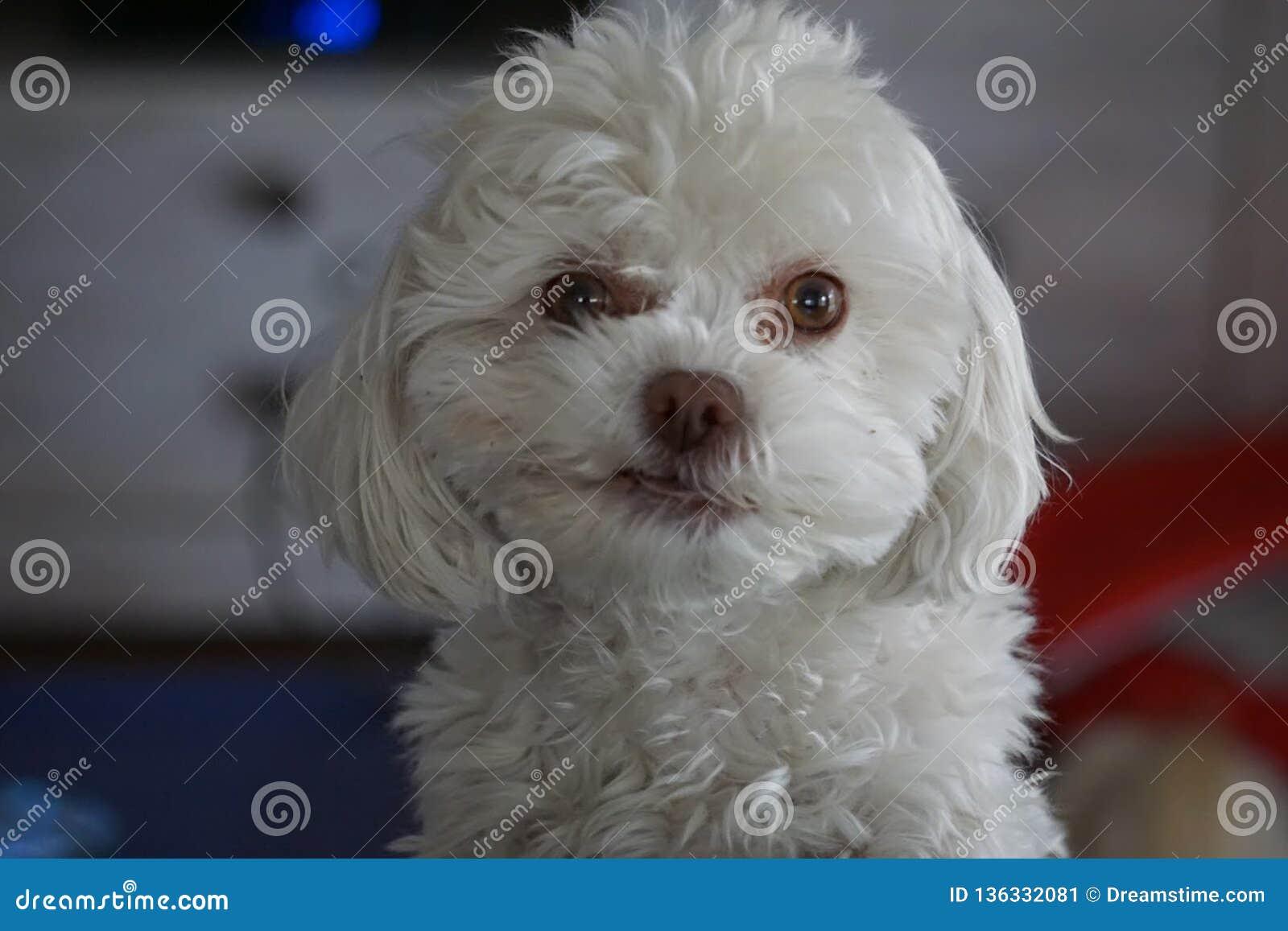 Cão macio branco adorável de Bichon Frise da caniche que Smirking