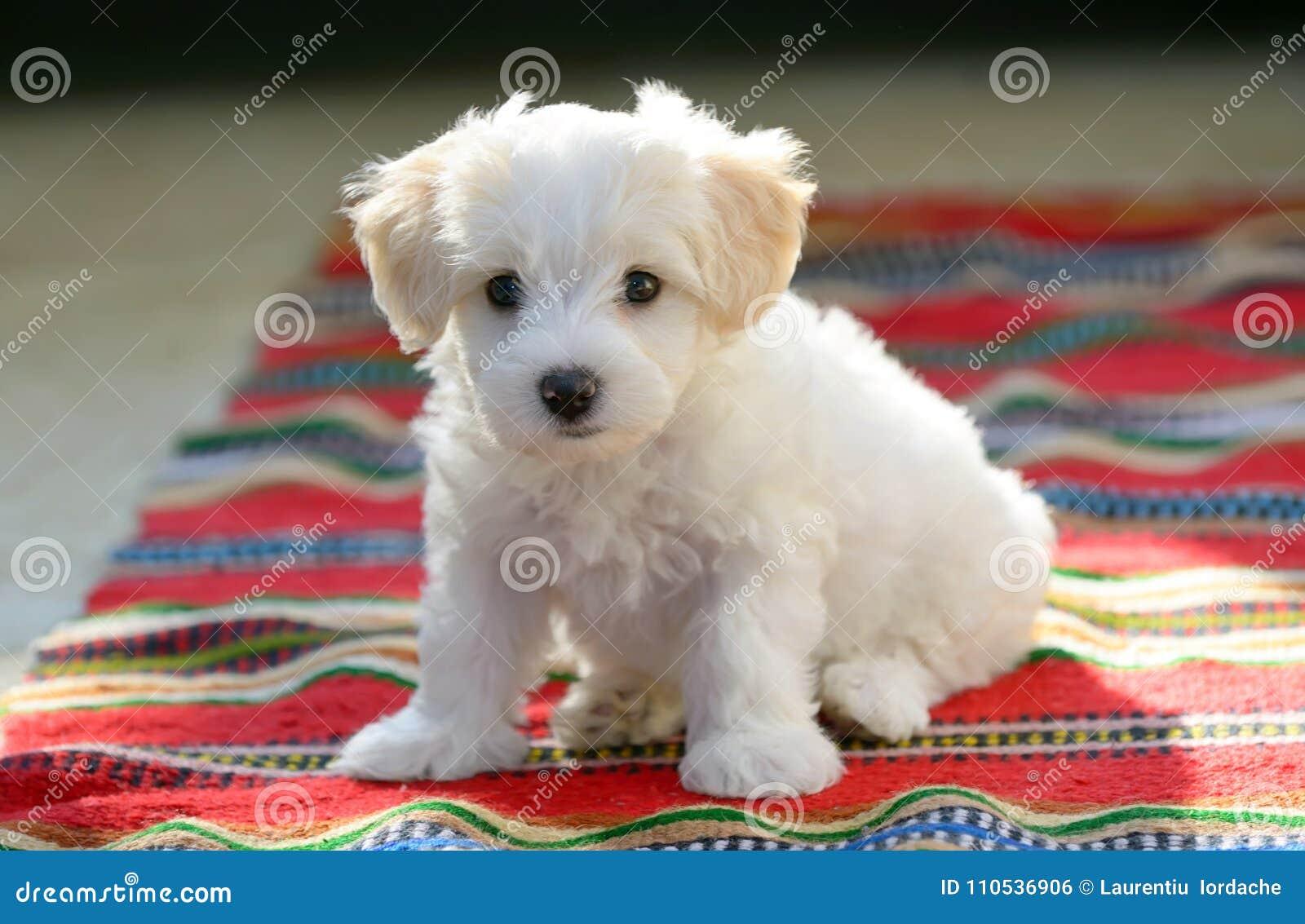 Cão maltês do cachorrinho branco que senta-se no tapete