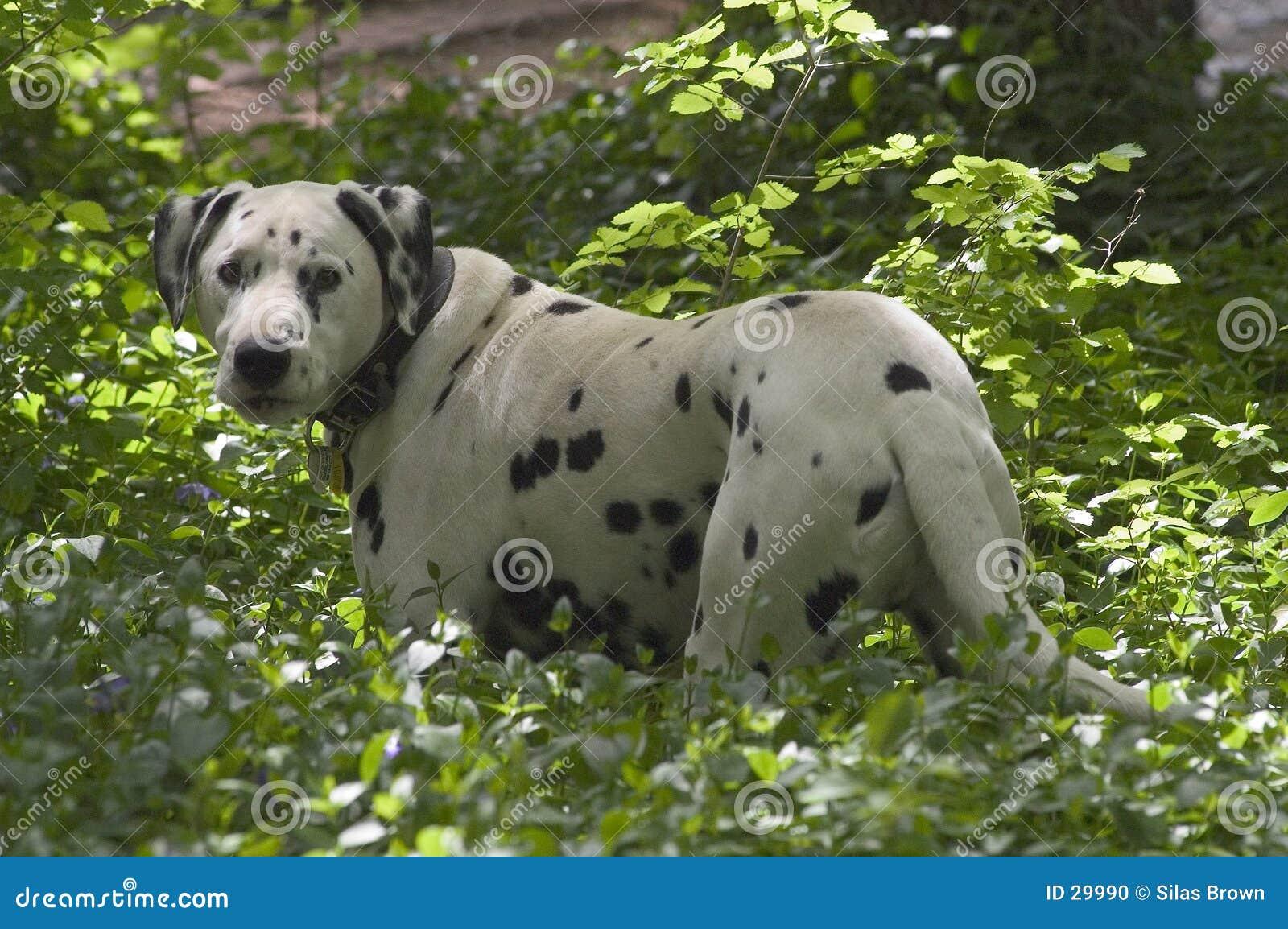 Cão manchado