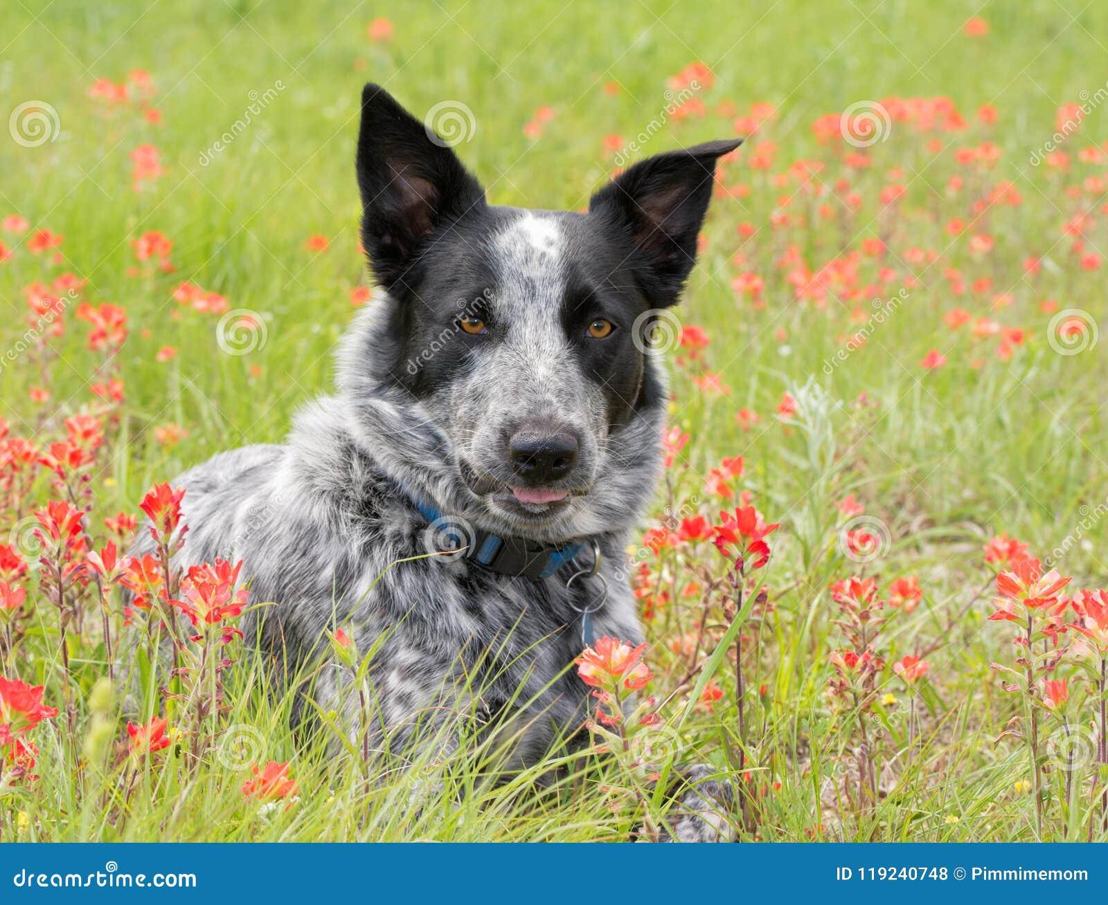 Cão manchado preto e branco no meio dos wildflowers vermelhos