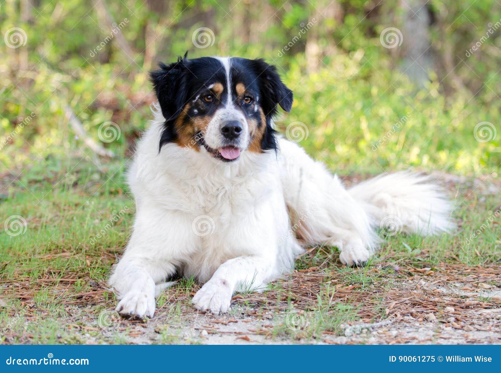 Cão misturado Collie Australian Shepherd da raça da beira