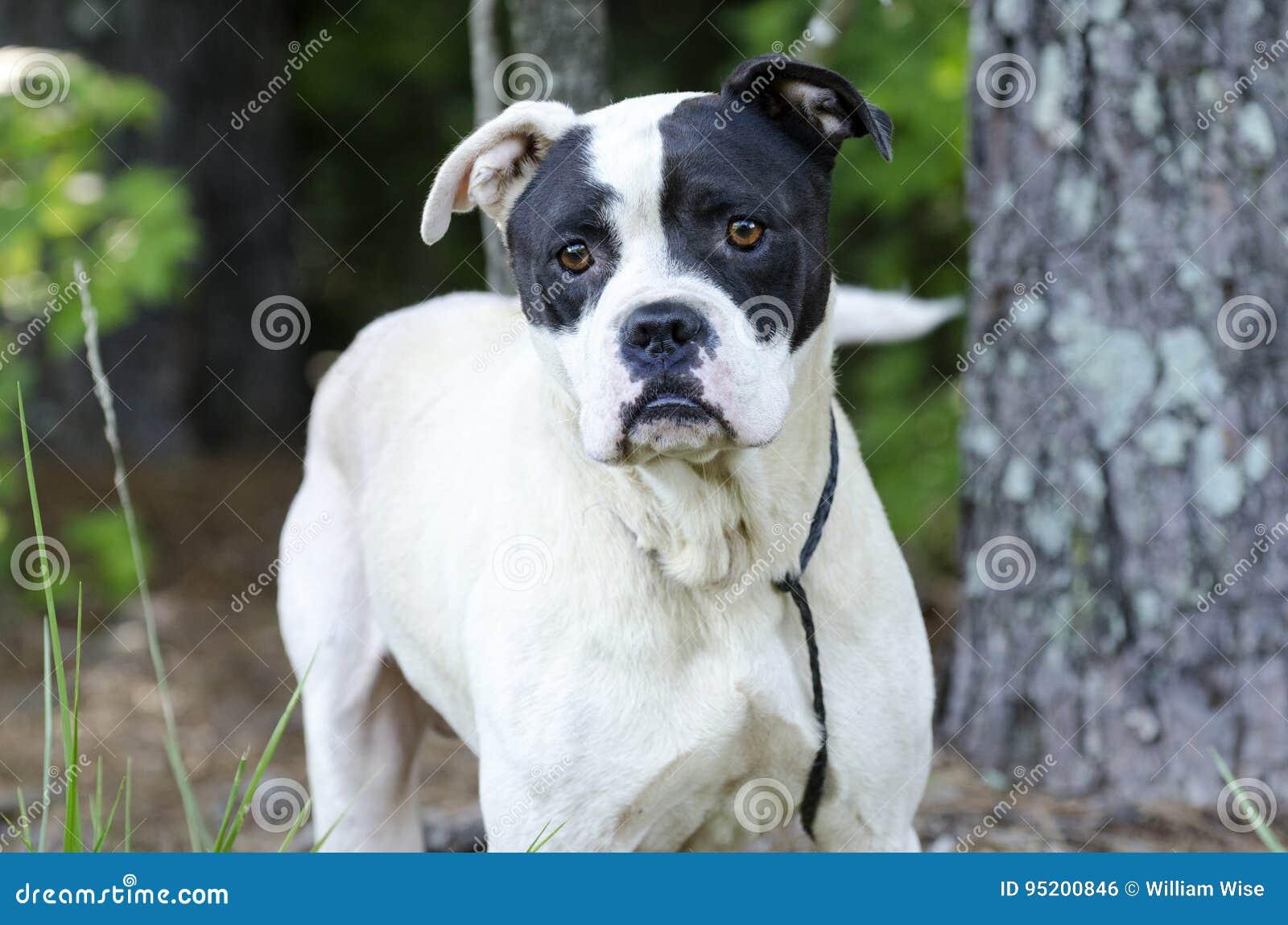 Cão Misturado Da Raça Do Pugilista Buldogue Americano Foto De Stock