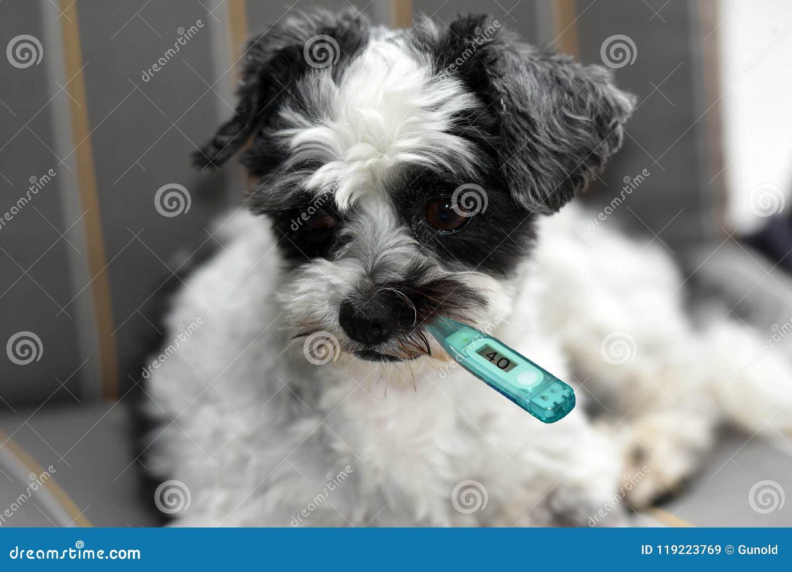 Cão moggy pequeno doente com termômetro da febre
