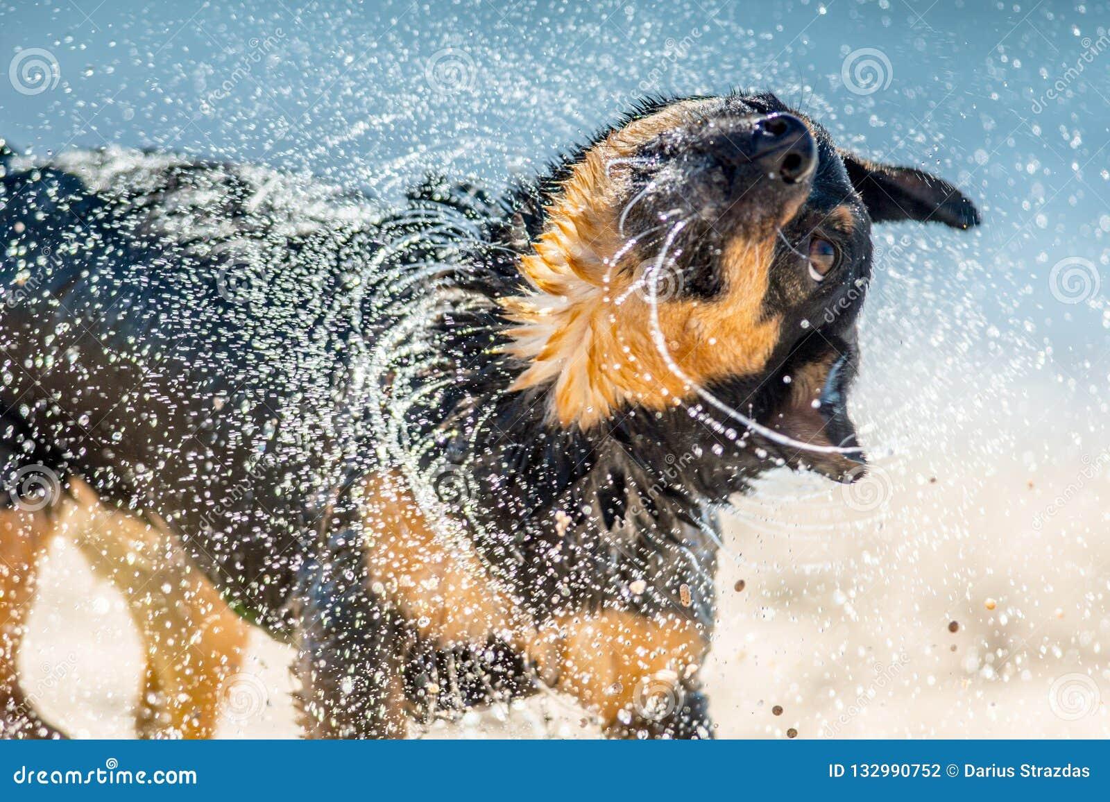Cão molhado que agita perto da água