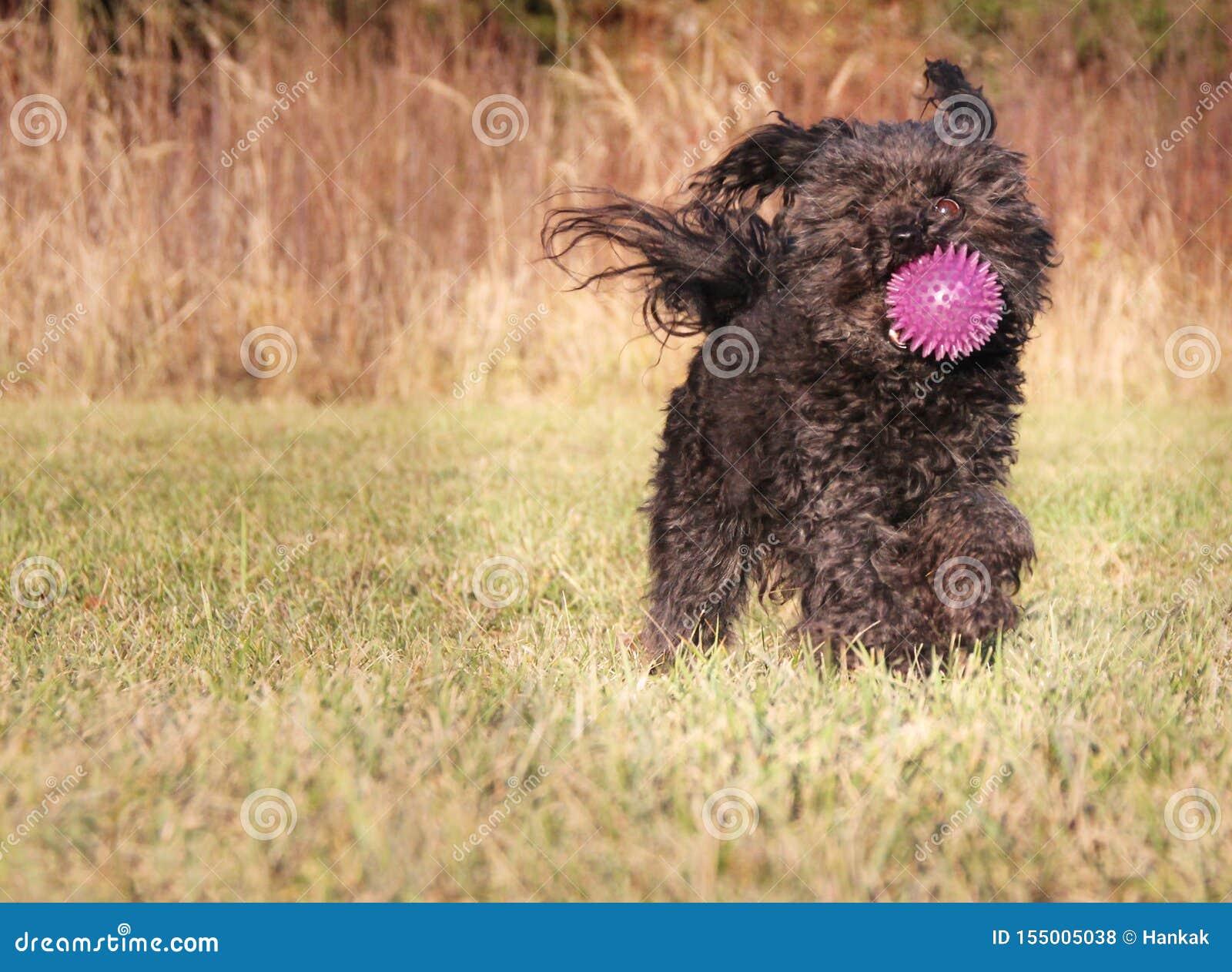 Cão na grama verde que exerce com a bola cor-de-rosa