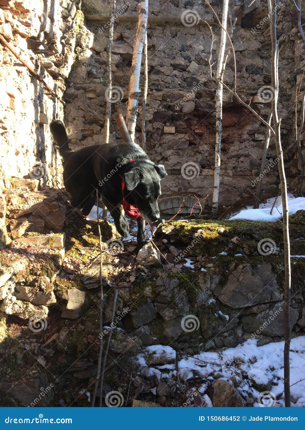 Cão nas ruínas