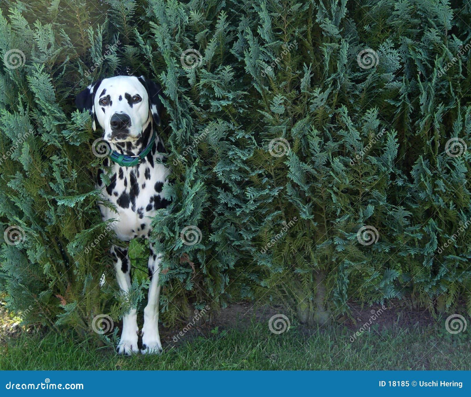 Cão no arbusto