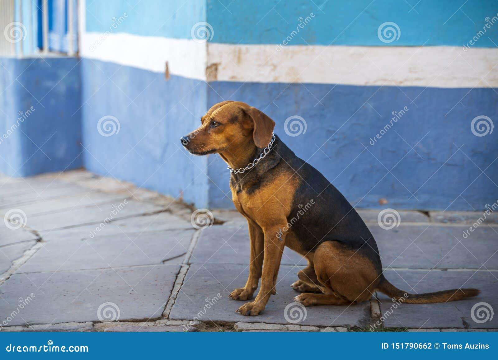 Cão no distrito colonial de Trinidad, Cuba