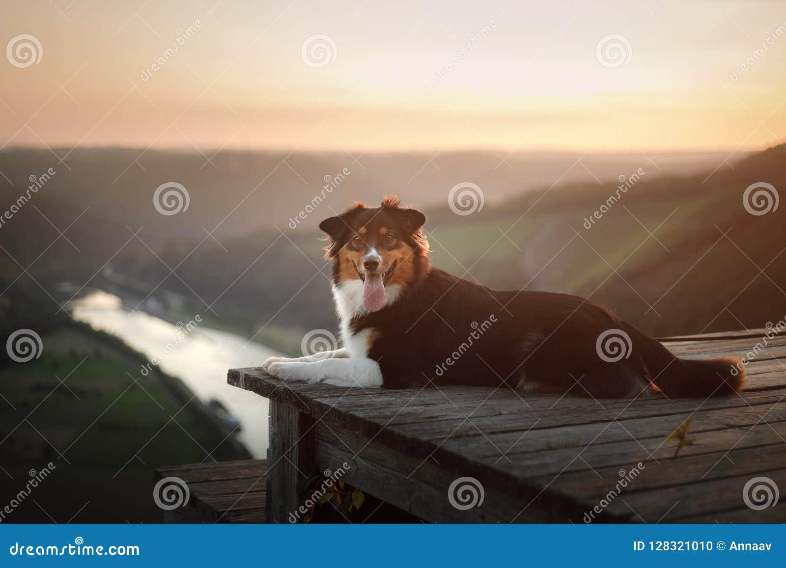 Cão no por do sol na natureza Animal de estimação em uma ponte de madeira pastor australiano obediente