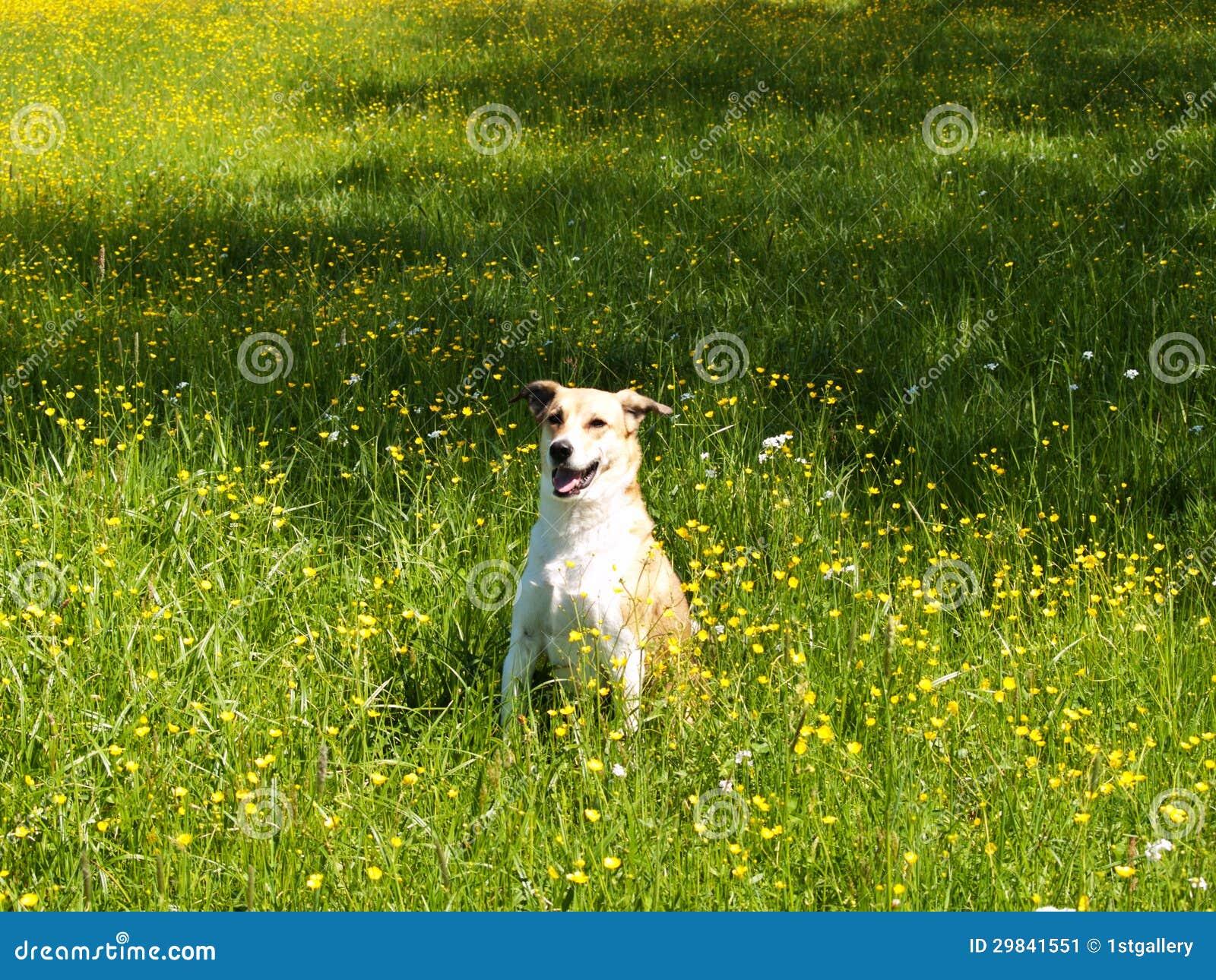 Cão no prado, (66)
