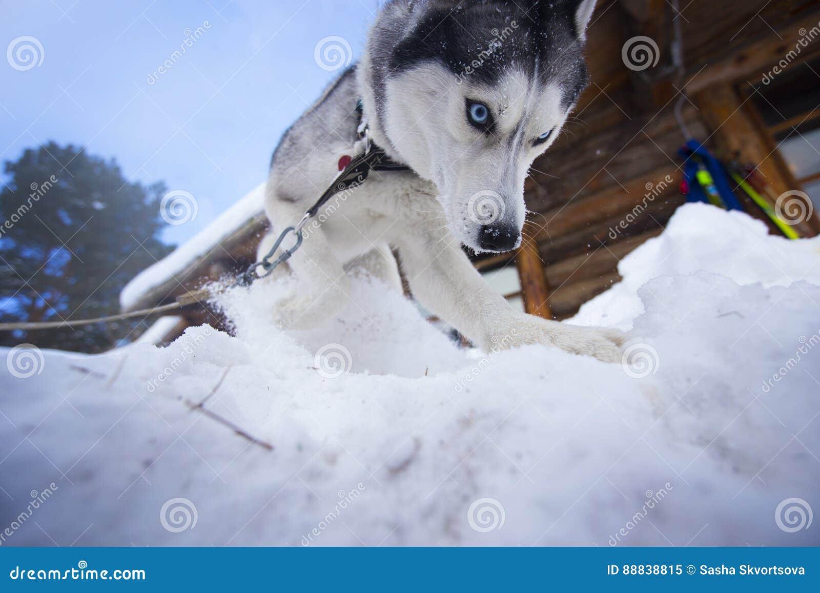 Cão ofendido da raça do cão de puxar trenós Siberian