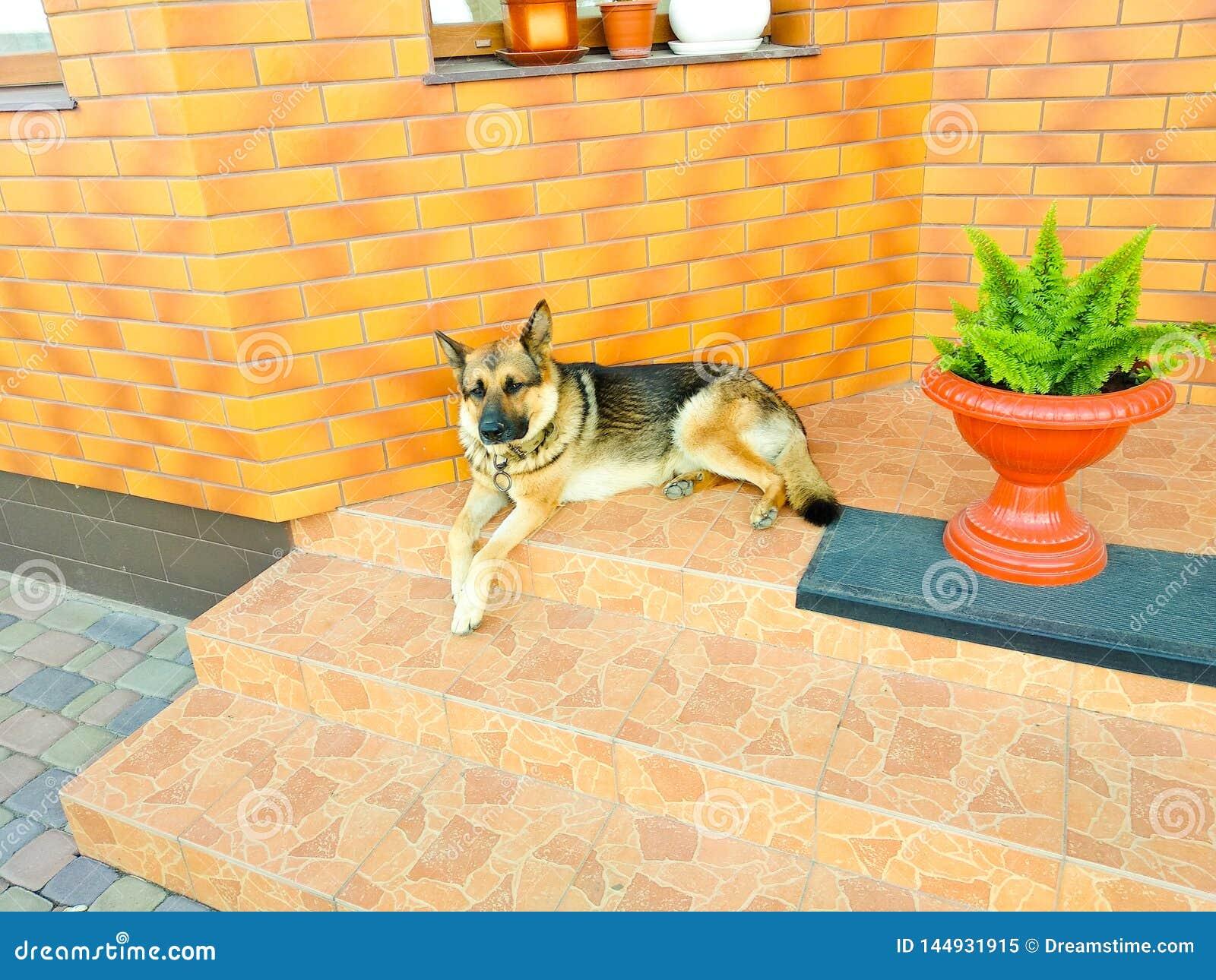Cão-pastor alemão que encontra-se nos protetores das escadas uma casa privada em um dia ensolarado