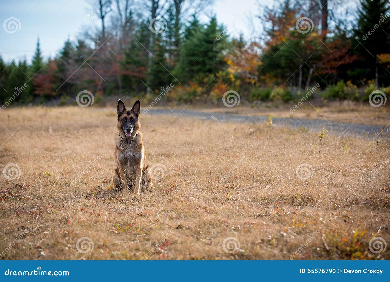 Cão-pastor alemão que senta-se para baixo em um campo