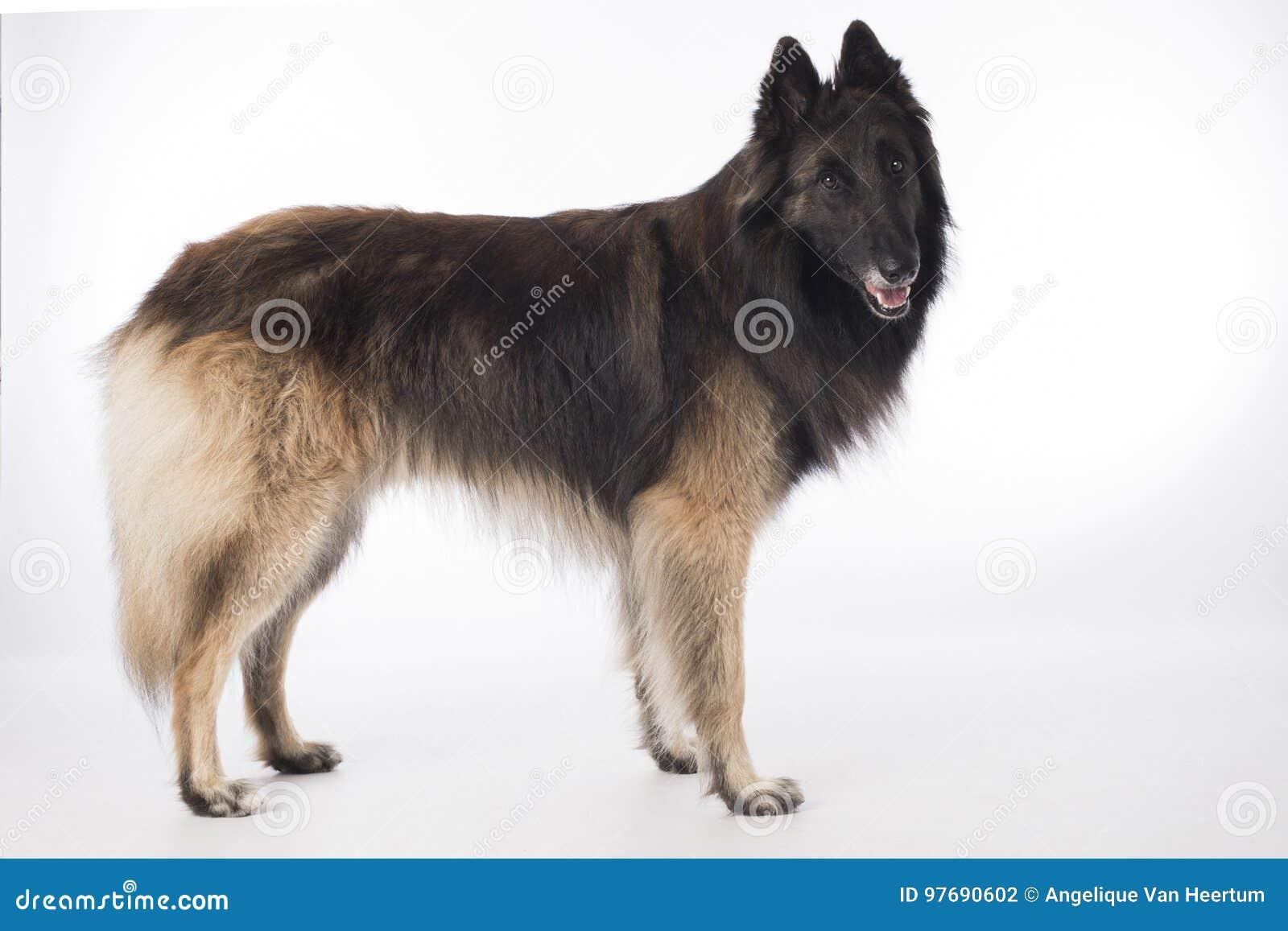 Cão, pastor belga Tervuren, estando no fundo branco do estúdio