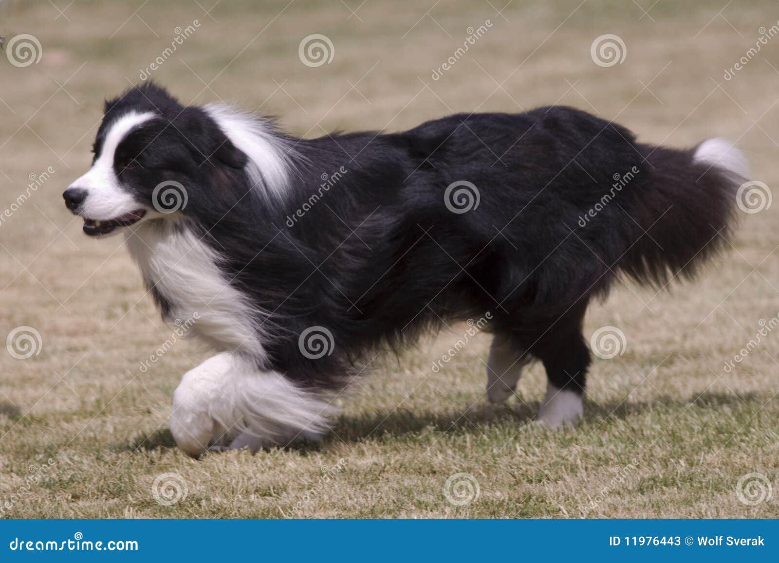 Black Furry Dog Breeds