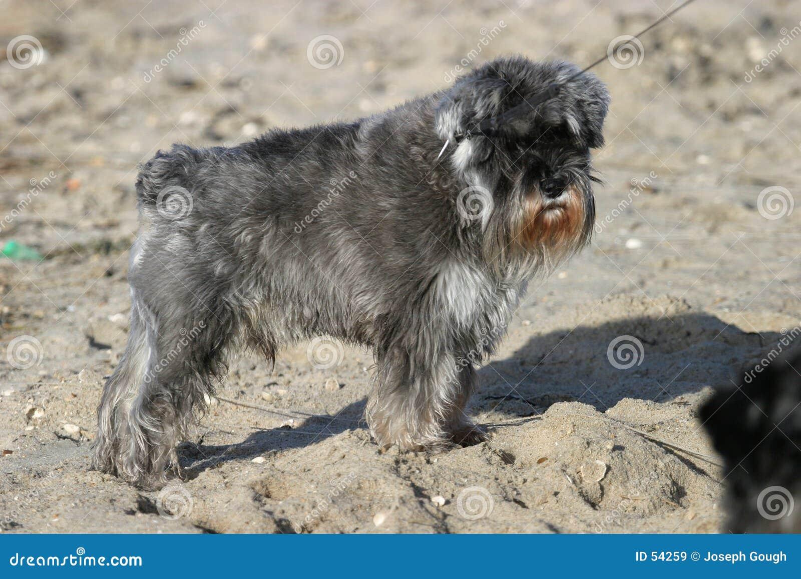Cão pequeno
